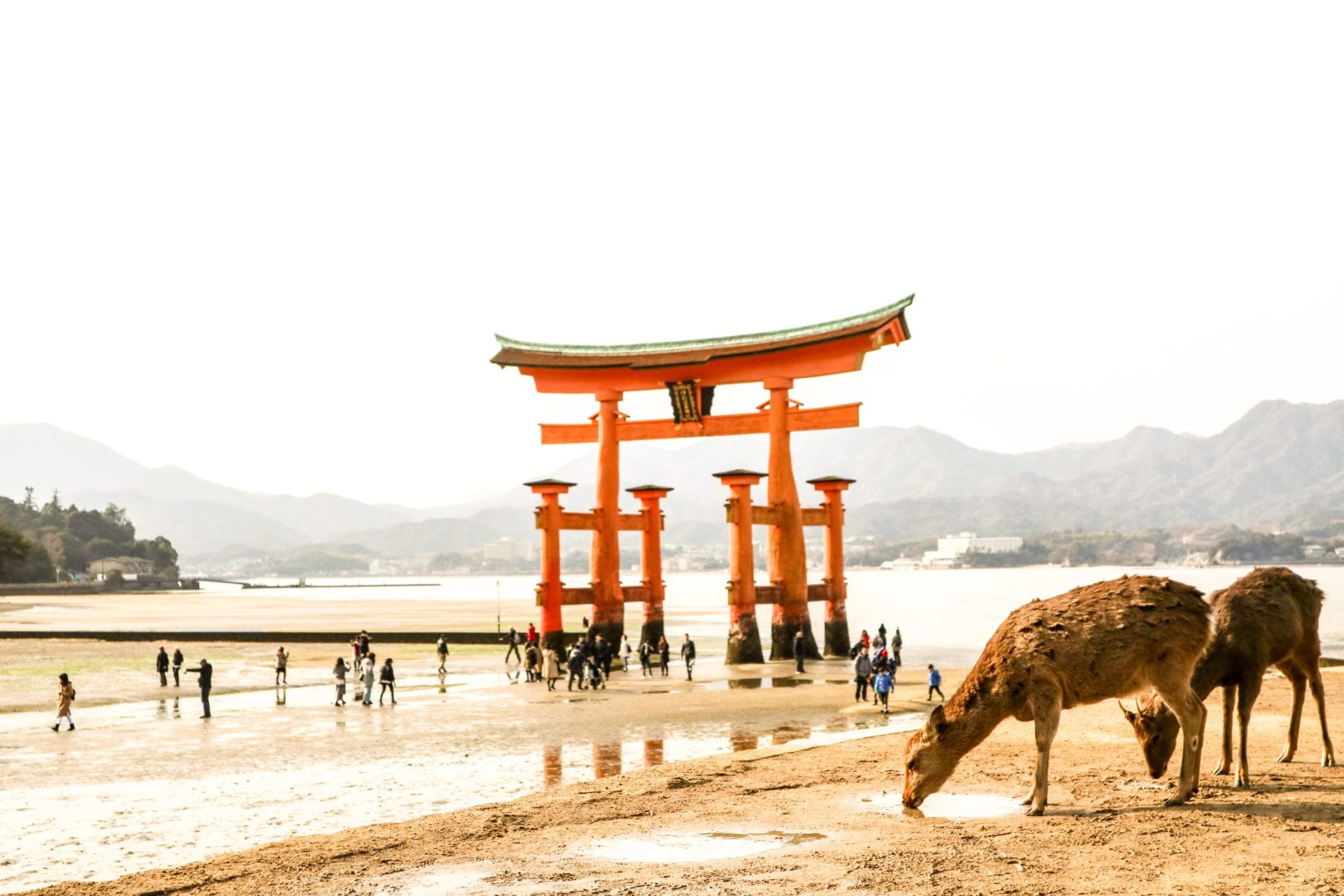 Deers of Miyajima in front of Torii gate